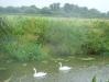 zodiac-pilgrimage-swans